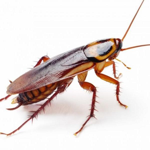 BLATTE: DEGLI INDESIDERATI COINQUILINI | Blog E-Pestcontrol